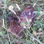 Beispiel eines geretteten Kitzes.